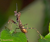 "0203-07oo  Budwing Mantis ""Nymph"" - Parasphendale agrionina ""Nymph"" © David Kuhn/Dwight Kuhn Photography"