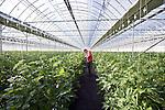 Masayuki Kasahara checks the tomatoes grown hydroponically in greenhouses in Sendai, Miyagi Prefecture, Japan on 12 Mar., 2012. .Photographer: Robert Gilhooly