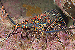 Sea of Cortez, Baja California, Mexico; a Pinto Spiny Lobster (Panulirus inflatus) hunting on the rocky reef at night