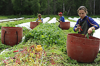 Workers at a Palmer, Alaska-area organic farm harvest greens.