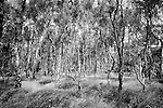 Silver birch forest at Bolehill Quarry, Peak District