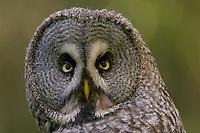 Great grey owl (Strix nebulosa) adult close-up portrait, Oulu, Finland.