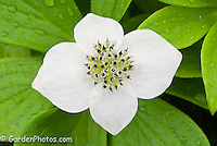 Cornus canadensis, bunchberry, native american wildflower