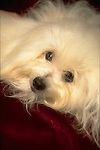 Coton deTulear<br />
