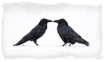 Courting ravens, Estonia