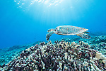 Rangiroa Atoll, Tuamotu Archipelago, French Polynesia; a hawksbill sea turtle swimming over the coral reef with sun rays streaming in from above