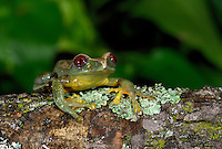 Parkers Tree Frog (Leptopelis parkeri), captive native to Tanzania.