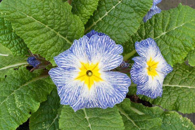 Primula vulgaris 'Blue Denim' or 'Tie Dye' pin flowers, primroses in bloom in spring