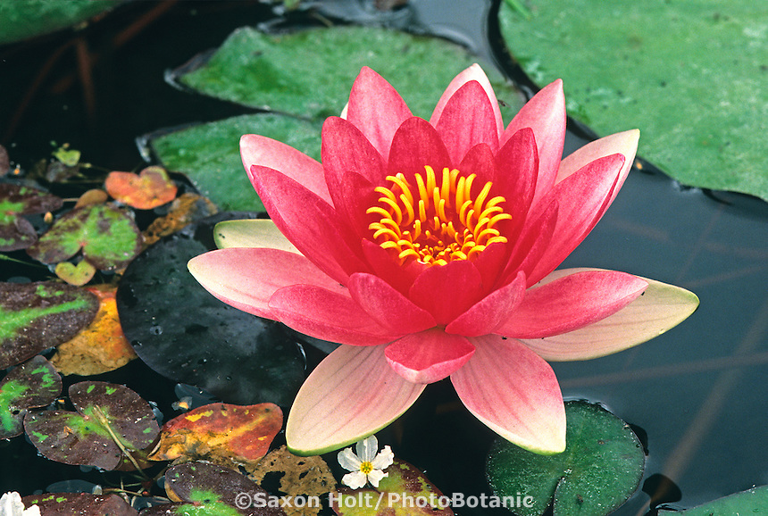 Nymphaea -Hardy Water Lily(pink) in pond