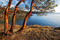 Pacific madrona trees on Orcas Island shoreline, San Juan Islands, Washington, USA