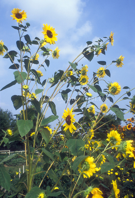 Branching Sunflower 'Valentine' Helianthus against blue sky