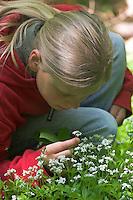 Mädchen, Kind riecht an Waldmeister, Wald-Meister, Galium odoratum, Sweet Woodruff, Aspérule odorante