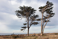 Two trees stand tall on the edge of a Coastal Terrace Prairie section of Año Nuevo State Reserve on the California Coast.