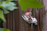 An animal skull found tied to fence during a raid on a puppy mill in Johnston, SC on Tuesday, Sept. 11, 2012. HSUS workers found over 200 dogs, nine horses and 30-40 fowl.