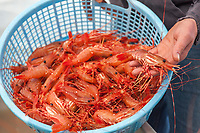 Live spot shrimp or sometimes called Alaska prawns, recently caught from the waters of Prince William Sound.