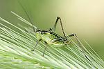 Tettigoniidae Bush-cricket Lesvos Island, Greece , lesbos
