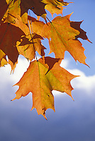 Back-lit orange maple leaves against blue sky with clouds, Vermont