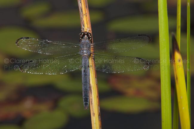 Slaty Skimmer (Libellula incesta) Dragonfly - Mature Female, Promised Land State Park, Greentown, Pike County, Pennsylvania