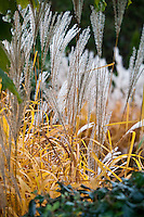 The autumn colors of the flowers and leaves of Fountain grass (Miscanthus sinensis).