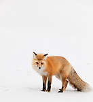 An individual red fox stands in the snow during the winter months in Yellowstone National Park.