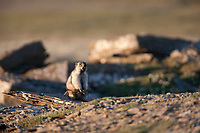 Alaska marmot finds shelter among the rocks along Archimedes ridge, Utukok uplands, National Petroleum Reserve Alaska, Arctic, Alaska.