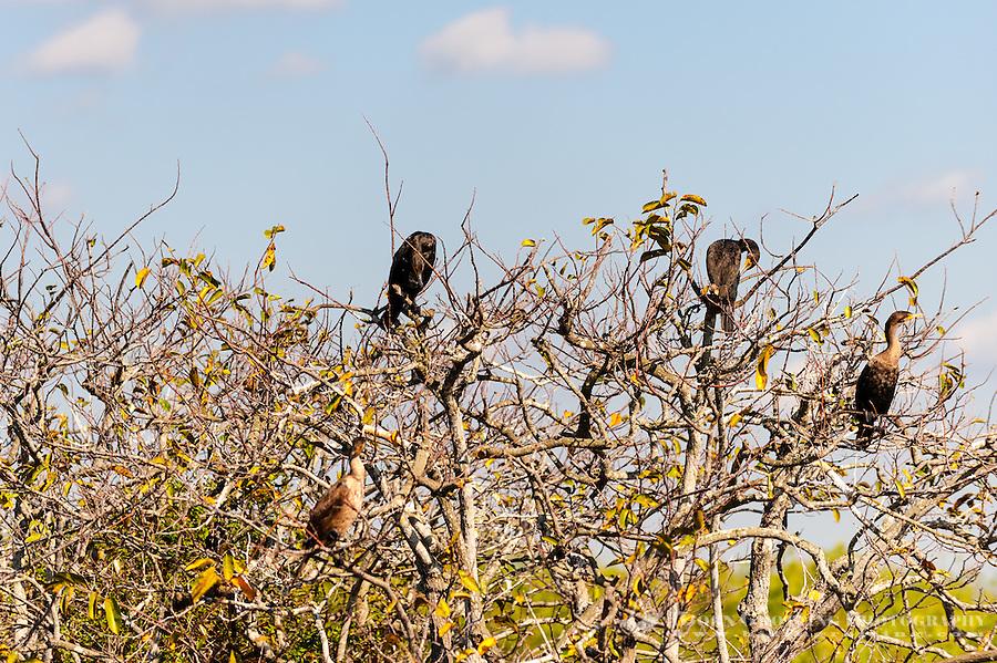 US, Florida, Everglades. Anhinga Trail Boardwalk. Double-crested Cormorant.