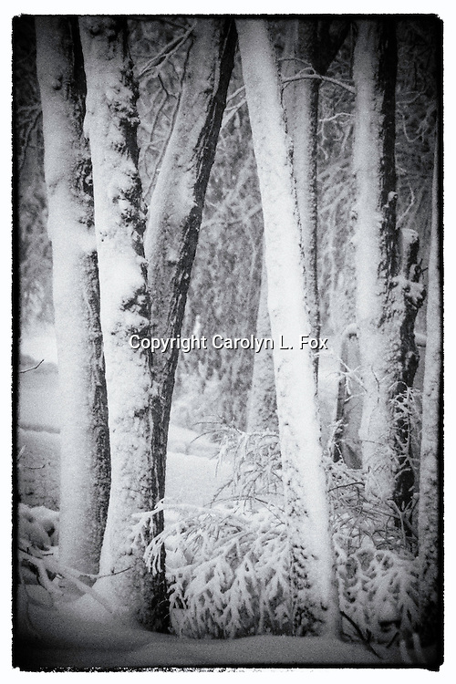 Trees stand in a forest during a snow storm.