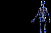 A posterolateral view (left side) of the bones of the upper body. Royalty Free