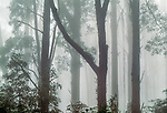 Light diffused by mist creates a monochromatic study that focuses on the delicate details of leaves and branches in this eucalyptus rainforest, Victoria, Australia.