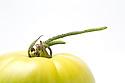 WA11124-00...WASHINGTON - Green tomato.