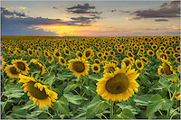 I traveled to this sunflower field several times in June of 2013. Each evening the sunset offered something different, but the sunflowers were magnificient each time. This field was one of the most incredible sights I've ever seen, and I hope to return there in the coming years.