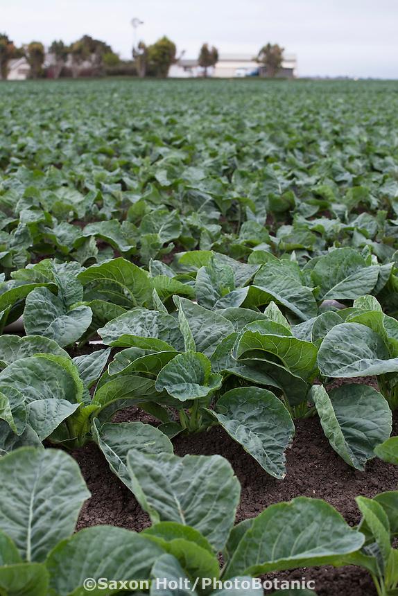 Cauliflower fields, Huntington Farms, Soledad, California