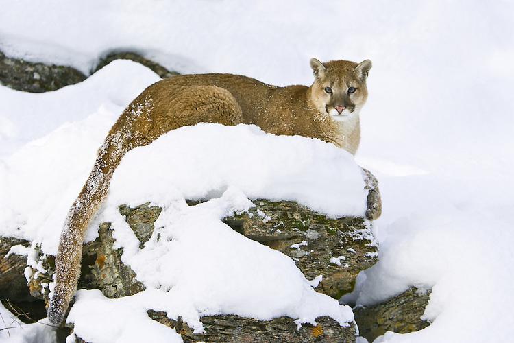 Young Puma (puma concolor) sitting on a snowy ledge near Kalispell, Montana, USA - Captive Animal