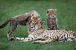 A cheetah cub harasses its mother, Maasai Mara National Reserve, Kenya