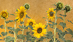 Sunflowers, California, 2008