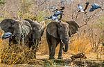 Central Africa , African bush elephant (Loxodonta africana) , black-headed heron (Ardea melanocephala) , common warthog (Phacochoerus africanus)