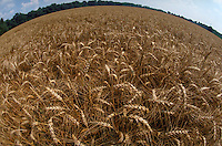 Wheat field ready for harvest. Virginia USA Southside.