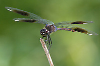 378950001 a wild female four-spotted pennant brachymesia gravida perched on stick in texas point national wildlife refuge jefferson county texas