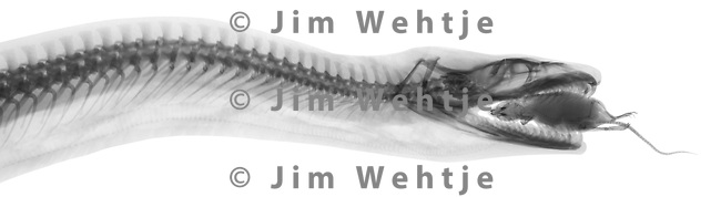 X-ray image of a snake eating a house mouse (black on white) by Jim Wehtje, specialist in x-ray art and design images.