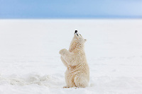 Polar bear cub of the year sits upright on its hind legs along the snowy shore of a barrier island in the Beaufort sea, Alaska.