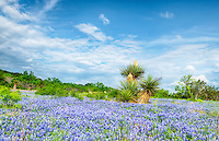 Captured this photo of a field of bluebonnets in front of a group of blomming yuccas in the Texas Hill Country on a nice afternoon with blue skys.  It has been extremely overcast for ever it seems, so it nice to finally get out and get some photo and this one with the cactus and bluebonnets says Texas more than anything else.