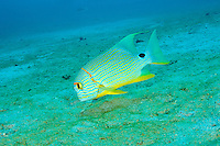 Sailfin snapper, Sangalaki, Kalimantan, Indonesia.