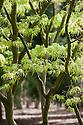 Acer palmatum 'Linearilobum', late April.