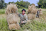 Farmers in Luang Prabang province, Laos collecting rice hay.