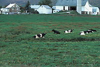 Lancaster county dairy farm green pasture cows heifers