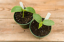 Young cucumber seedlings, mid May.