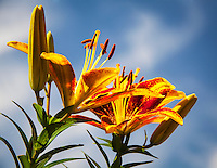 Asiatic lilies against a blue sky with wisps of cloud.
