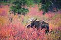 Alaska, Denali National Park; Bull moose amongst dwarf birch bushes in fall colors, rutting season