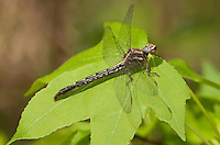 333890009 a wild female ashy clubtail dragonfly gomphus lividus perches on a plant leaf in the big creek scenic area of san jacinto county in texas