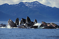 Photo KM-11199. Humpback Whales (Megaptera novaeangliae) bubble-net feeding on herring. Alaska, USA, Pacific Ocean..Photo Copyright © Brandon Cole.  All rights reserved worldwide.  www.brandoncole.com..This photo is NOT free. It is NOT in the public domain...Rights to reproduction of photograph granted only upon payment of invoice in full.  Any use whatsoever prior to such payment will be considered an infringement of copyright...Brandon Cole.Marine Photography.http://www.brandoncole.com.email: brandoncole@msn.com.4917 N. Boeing Rd..Spokane Valley, WA 99206   USA..tel: 509-535-3489